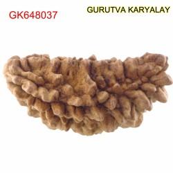 36.33 MM Ek Mukhi Rudraksha
