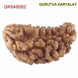 35.88 MM Ek Mukhi Rudraksha