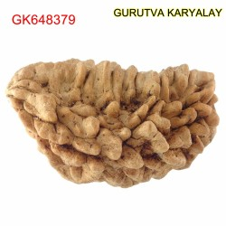 35.40 MM Ek Mukhi Rudraksha