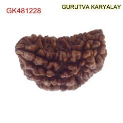 31.53 MM Ek Mukhi Rudraksha