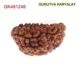 32.78 MM Ek Mukhi Rudraksha