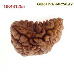 31.30 MM Ek Mukhi Rudraksha