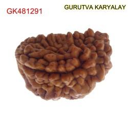 32.40 MM Ek Mukhi Rudraksha