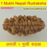 33.73 MM  1 Mukhi Rudraksh One Face Rudraksh