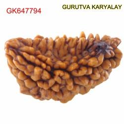 28.36 MM Ek Mukhi Rudraksha