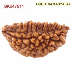 29.57 MM Ek Mukhi Rudraksha