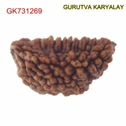 28.59 MM Ek Mukhi Rudraksha