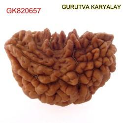 32.88 MM Ek Mukhi Rudraksha