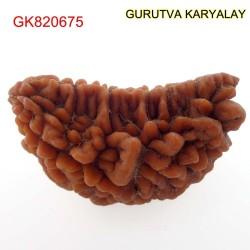 32.75 MM Ek Mukhi Rudraksha