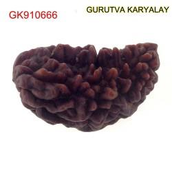 35.53 MM Ek Mukhi Rudraksha